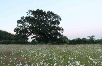 pre-dawn meadow 2