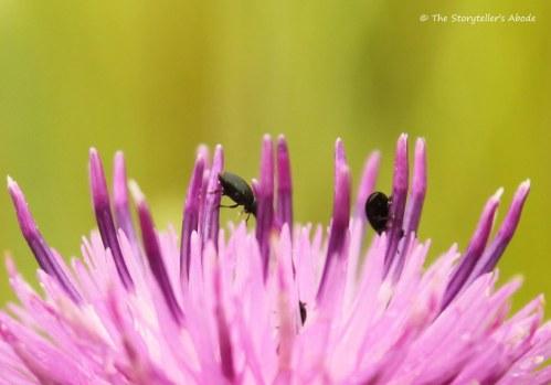 Thunderbugs on clover