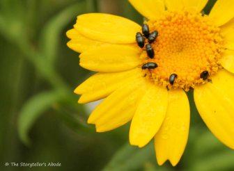 Thunderbugs on yellow flower