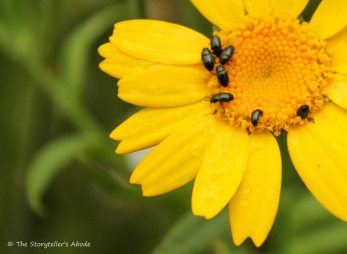 Thunderbugs on yellow flower