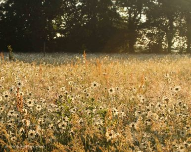 Dawn Daisies 3