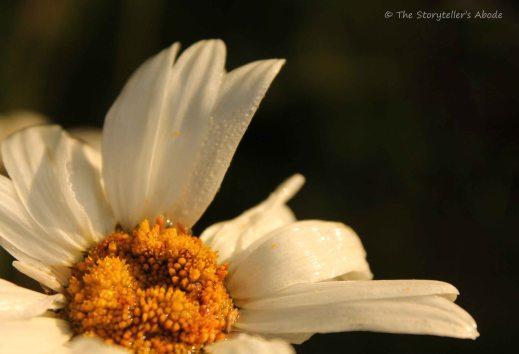 Dawn Daisy 6