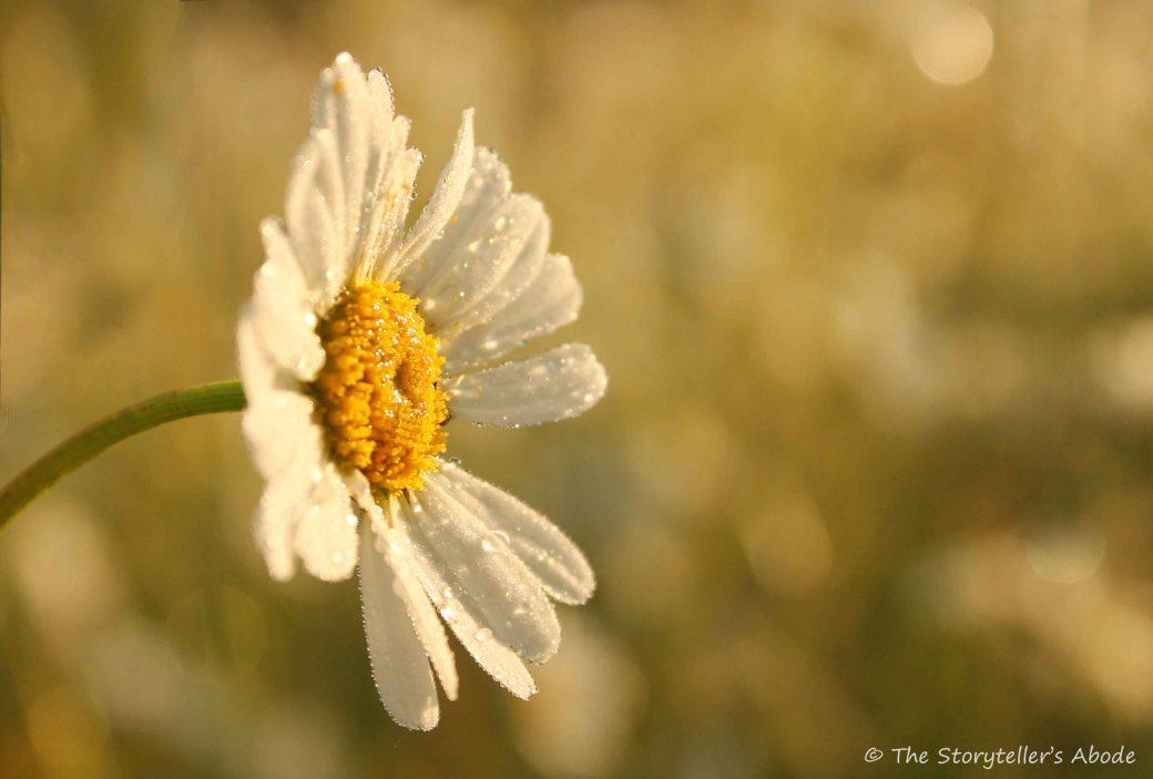 Dawn Daisy