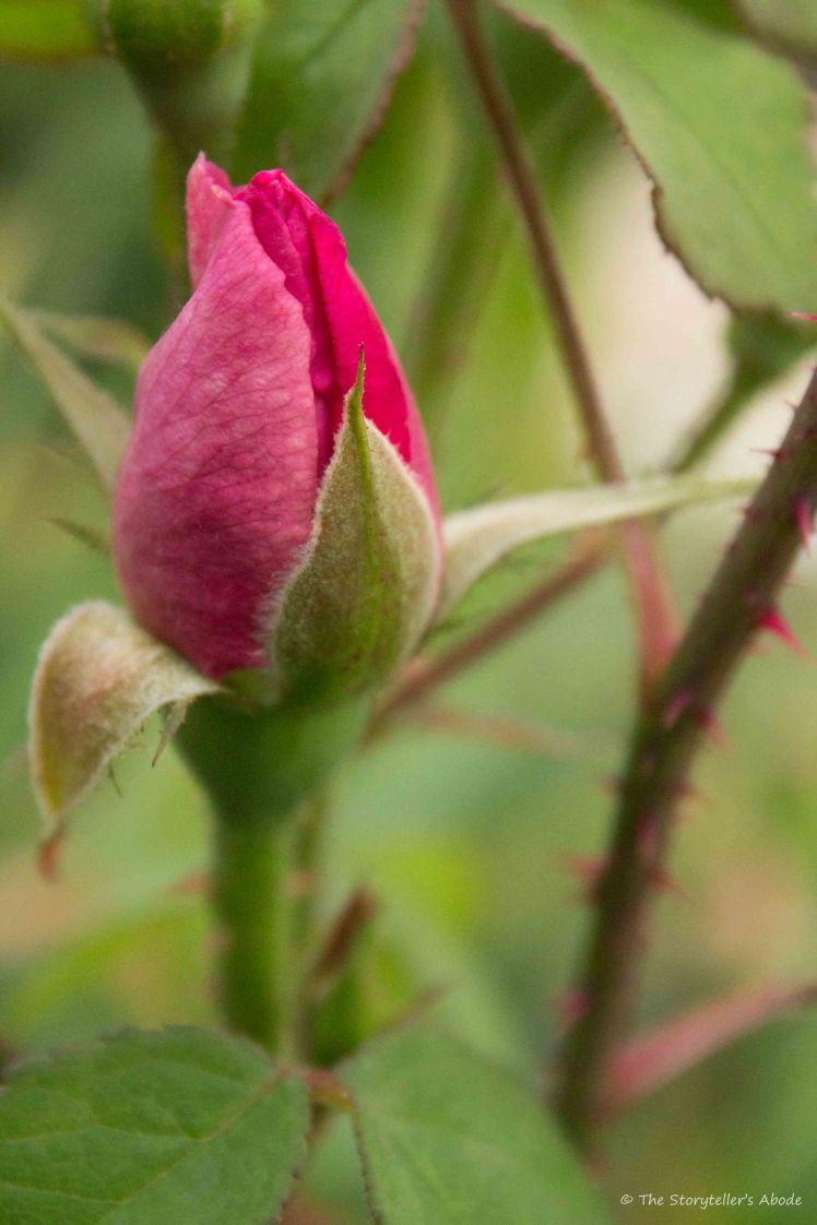rosebud with thorns