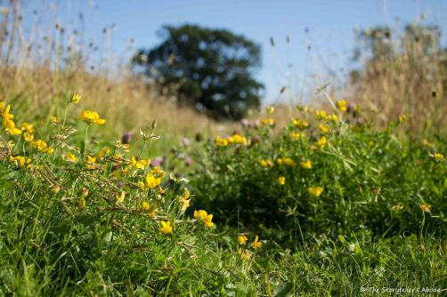 Birdsfoot Trefoil on Path