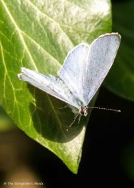 Common-Blue Butterfly