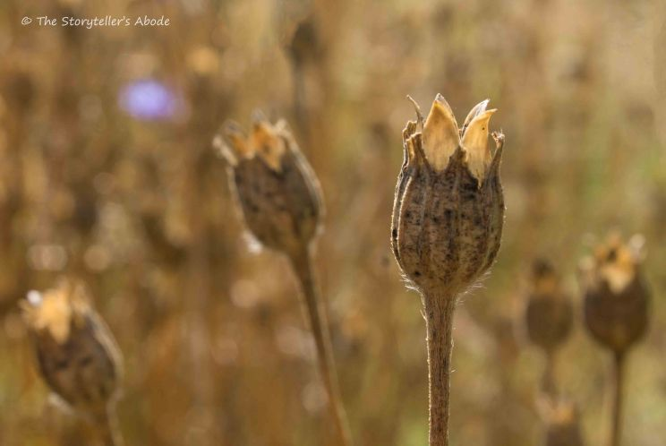 Corncockle seed pods