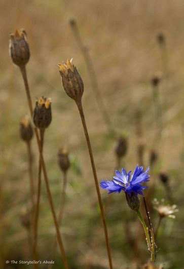 Cornflower Amongst Seed Pods