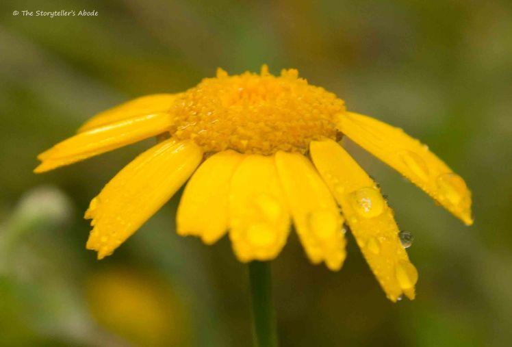 Droplet on Corn Marigold
