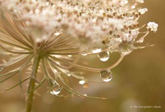 Droplets on Wild Carrot Flower 2