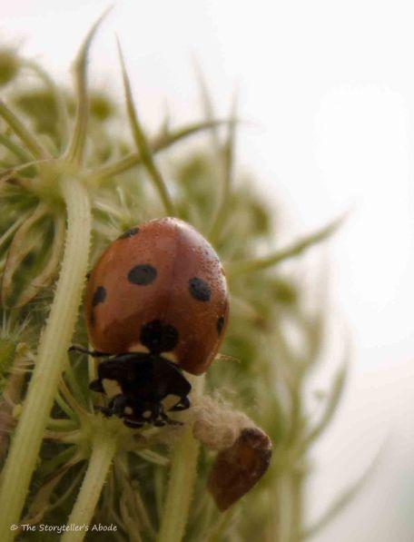 Ladybird with Larvae
