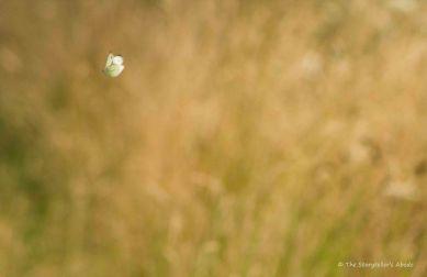 Large White Butterfly in Flight