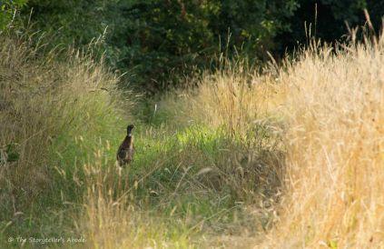 Pheasant on Path