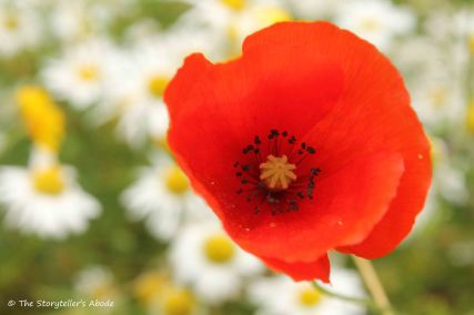 Poppy with Camomile