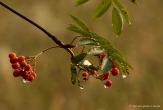 Raindrops on Rowan at Dawn