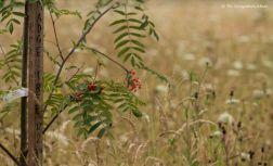 Rowan - Madge Tree