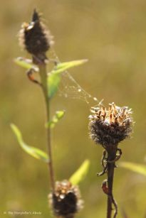 Seedheads with Spiderweb
