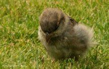 Sparrow Fledgling 1
