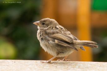 Sparrow Fledgling 2