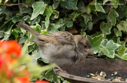 Sparrow Fledgling 3