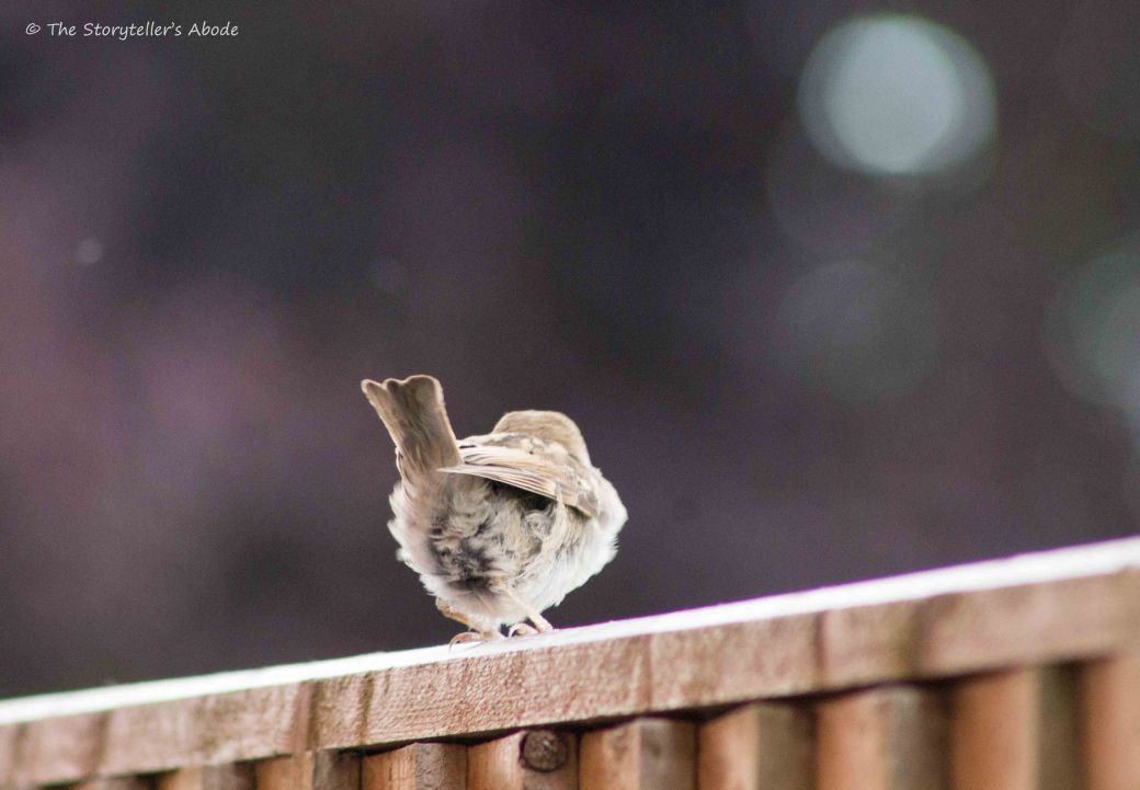 Sparrow Fledgling 4