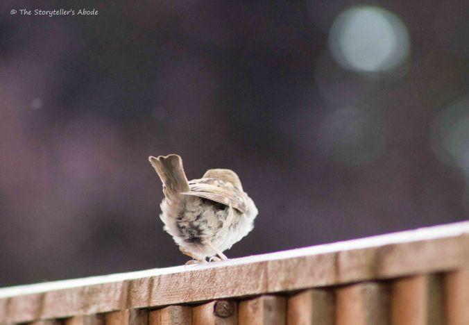 Sparrow Fledgling 4