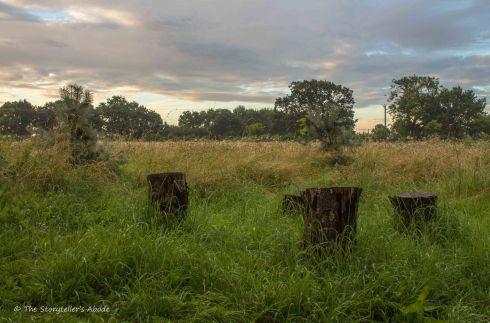 Tree Stumps at Dawn