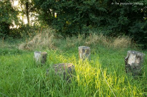 Tree Stumps in Evening Sun