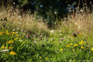 Trefoil and Clover on Path