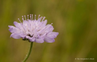 Unidentified Lilac Flower