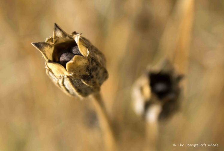 corncockle-seed-pods-3