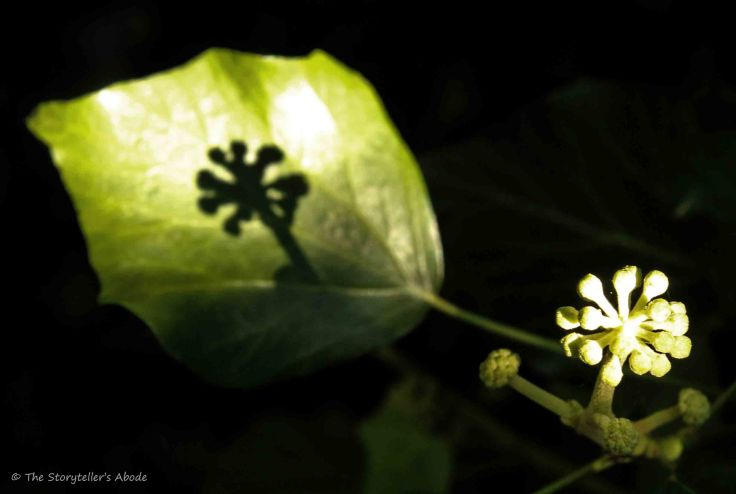 Ivy Shadow