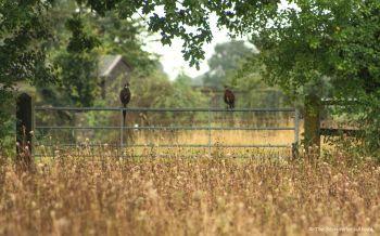 pheasants-on-gate