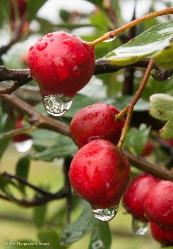 raindrops-on-rosehips