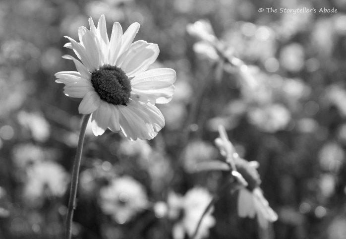 dawn-daisies-b-and-w