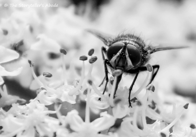 fly on cow parsley b and w 2.jpg