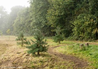 path-by-pine-trees-and-stumps