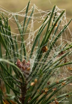 webs-on-pine-colour