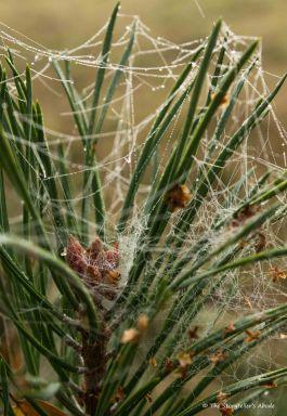 webs-on-pine-colour
