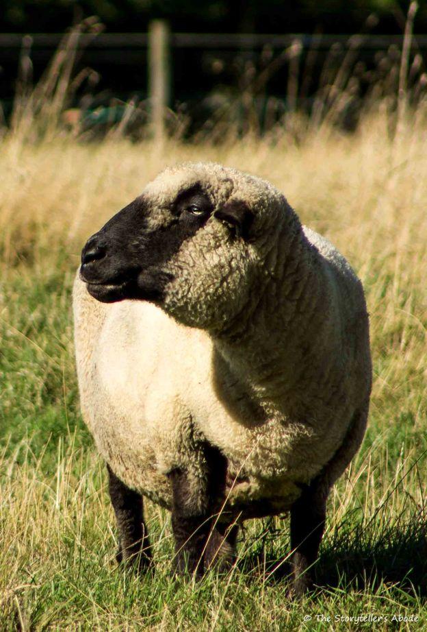 Posing Sheep.jpg