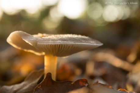 frosty-dawn-lit-toadstool