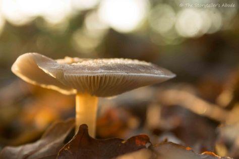 frosty-dawn-lit-toadstool