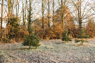 frosty-fir-trees