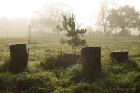 treestumps-on-misty-morning