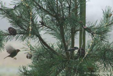 birds-on-fir-tree-2