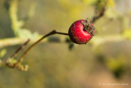 old-hawthorne-berry