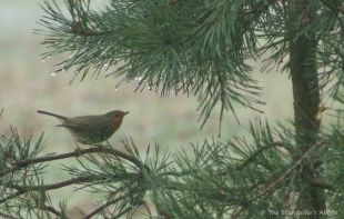 robin-on-fir-tree