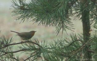 robin-on-fir-tree