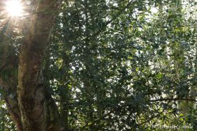 sunlight-through-holly-tree