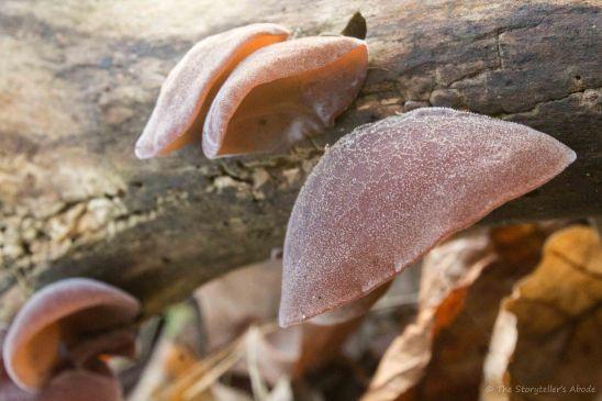 bracket-funghi